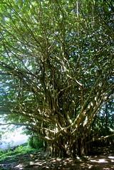 DSC03724 Edit (washuugenius) Tags: photo hawaii hilo tropical flora wailukuriverstatepark tree banyantree