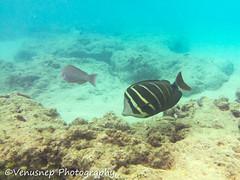 Hanauma Bay 3 (venusnep) Tags: hanaumabay hanauma bay underwater tropicalfish tropical fish iphone watershot watershotpro hawaii snorkeling travel travelphotography may 2018