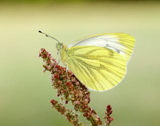 Green-veined White Pieris napi