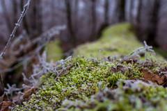 D72_3351 (Siebenundzwanzig10.de) Tags: rheinlandpfalz deutschland winter frost kalt kälte eis schnee januar nikon d7200 nikond7200 cold freez ice snow moos moss makro hahnstätten