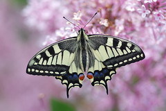 Schwalbenschwanz (Aah-Yeah) Tags: schwalbenschwanz swallowtail papilio machaon schmetterling tagfalter butterfly marquartstein achental chiemgau bayern