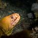 Moray eel - Gymnothorax prasinus