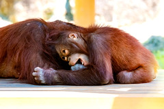 Orangutan's Mother and Child (Kiki and her son Riki) : オランウータンの母子 (Dakiny) Tags: 2017 summer june japan tokyo hino outdoor nature park city street zoo tamazoo creature animal mammal ape orangutan bokeh nikon d750 sigma apo 70200mm f28 ex hsm apo70200mmf28dexhsm sigmaapo70200mmf28dexhsm nikonclubit