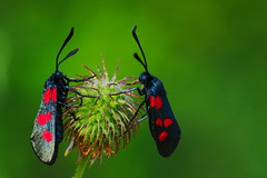 Zygaena trifolii (2) (JoseDelgar) Tags: insecto mariposa polilla zygaenatrifolii 425846378732664 josedelgar coth sunrays5 coth5 alittlebeauty ngc fantasticnature contactgroups npc