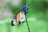 life's colour (Janne Fairy) Tags: butterf schmetterling schärfentiefe depthoffield depth field bokeh dof canon eos500d macro green nature natur