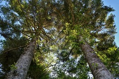 Twin fir tree (namhdyk) Tags: tree trees firtree canon canong7x save earth