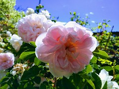 Rose  ' Stanwell perpetual ' (ml.skagerlund) Tags: he information is very important too