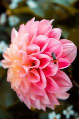 Dalia and bug 3 (Shantasphotos) Tags: dalia bug insects plants rose pink green nature