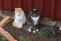 (ailiehermansson) Tags: blomrabatt nature cosy mys katter katt cats cat