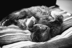 21/52❤ (clo dallas) Tags: cats feline nature myhome teo indoors bw blackandwhite sony 55mm biancoenero portrait