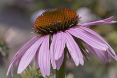 Douceur (Doriane Boilly Photographie Nature) Tags: fleur de cosmos flowers macro nature extérieur jardin