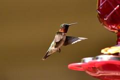 Hummingbird_6948 (Porch Dog) Tags: 2017 garywhittington nikond750 nikkor200500mm hummingbird birdfeeder backyard kentucky nature wildlife feathers bird fx