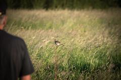 DSC_4641 (Evo800) Tags: walks cooper sky grass cloulds sunset water forth scotland nikon d610 deer skylark