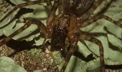 'Neodesis' sp. (dustaway) Tags: arthropoda arachnida araneae araneomorphae desidae neodesis australianspiders tamborinemountain mounttamborine spinne araignee nature natur sequeensland queensland australia