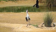 Héron attaqué par une corneille (.Steph) Tags: heron corneille corbeau crow oiseau bird animal nature attaque attack