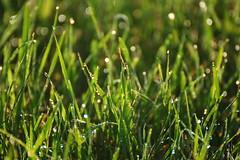 Dew drops (dylan583) Tags: sonya700 tamronspf45670300usd dew closeup