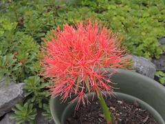Inspiration - Scadoxus multiflorus (Sophia-Fatima) Tags: mygarden meingarten naturgarten gardening inspiration scadoxusmultiflorus