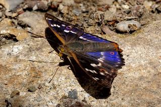 Kleiner Schillerfalter (Apatura ilia) Blauschillerform