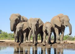 Elephant (Robert Styppa) Tags: elephant elefant botswana afrika africa southafrica wildlife robertstyppa nikon mashatu safari