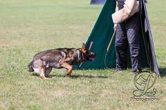 GSD-4614 (jim_lamy) Tags: gsd ipo germanshepherd schutzhund workingdog