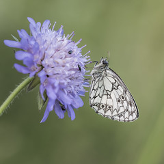 Marbled White On Scabious (Gary Stamp cPAGB) Tags: kwt marbledwhite canon nature wildlife butterfly