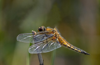 JWL1625  Four Spotted Chaser..