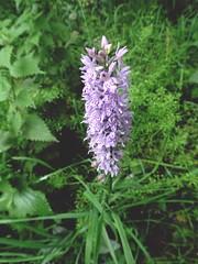 An Orchid (Bricheno) Tags: orchid renfrew clyde macro flower bricheno scotland escocia schottland écosse scozia escòcia szkocja scoția 蘇格蘭 स्कॉटलैंड σκωτία