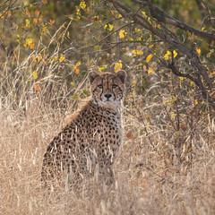 south african cheetah (Acinonyx jubatus jubatus) (dinholimaakacamisaflorida) Tags: africa kruger krugerpark southafrica southafricannationalparks bush bushlover gamereserve safari áfricadosul áfrica safári chita