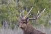 Red deer (Cervus elaphus)-5686 (rawshorty) Tags: rawshorty animals australia nsw deer portmacquarie