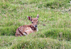 Bambi! (RiverCrouchWalker) Tags: bambi fawn deer deerpark knole knolepark kent nationaltrust july summer 2017 animal mammal uk