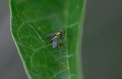 sheltered (severalsnakes) Tags: kansas m1004macro pentax saraspaedy shawnee shawneemissionpark bug fly insect k1 raynox150