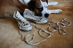 25/52 con(tro)verse (part II) (Jutta Bauer) Tags: 52weeksfordogs 52weeksforedgar 2552 edgar excellentedgar shoes converse name