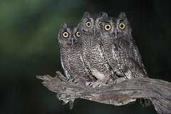 Western Screech Owl (Megascops kennicottii) (Vegas Nelson) Tags: nikond810 bird screech owl ornithology wild nature feather beak talon megascops kennicottii avian arizona flight fly wing winged bokeh perched raptor hunter night western birdsofprey