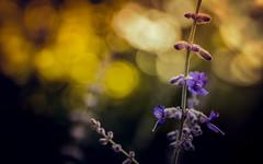 Bokeh 8106 (EB_Creation) Tags: bokeh 7dwf nikon nature naturallight natural sigma sigma170700mmf2840 flower flowers flora purple sun yellow d7100 dof