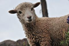 PER_3782.jpg (ro_mac) Tags: sun taquile schaf smile happyness nice animal sheep puno peru