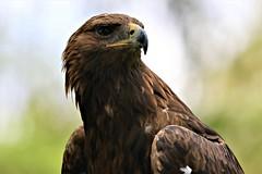Golden Eagle (crafty1tutu (Ann)) Tags: travel holiday unitedkingdom uk 2017 england northyorkshire yorkshire animal bird eagle goldeneagle crafty1tutu ef100400mmf4556lisiiusm anncameron canon7dmkii naturethroughthelens