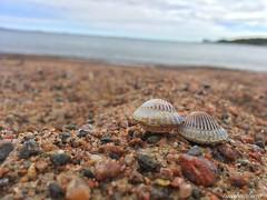 Summer (tinapauliina) Tags: suomi finland shells simpukat simpukka helsinki ranta shell beach luonto nature