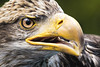 TRC Eagle 16.1 (Jason Blalock) Tags: grandtetonnationalpark grandtetonsnationalpark grandteton grandtetons nationalpark nationalparkservice nps tetonraptorcenter trc bird birdofprey avian raptor eagle baldeagle haliaeetusleucocephalus americanbaldeagle americaneagle
