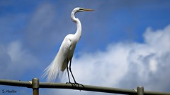 Great Egret (Suzanham) Tags: largeegret commonegret greatwhiteegret greatwhiteheron egret greategret bird perching south perchingbird mississippi rail noxubeewildliferefuge nature wildlife wadingbird white southern simplysuperb
