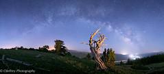 Sentry (OJeffrey Photography) Tags: bristleconepines trees co colorado coloradorockymountains treeline panorama pano nightsky nightscape starscape stars milkyway lll ojeffreyphotography ojeffrey jeffowens nikon d800