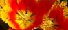 Orange and yellow fringed tulip, Walmart (Martin LaBar) Tags: southcarolina pickenscounty tulip petals sepals anthers tulipa liliaceae fringe yellow orange stigma