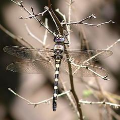 Day-186  Western River Cruiser Dragonfly (Kazooze) Tags: garden nature outdoor visitor dragonfly westerrivercruiser macro bokeh