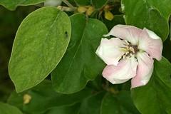 Cydonia oblonga, the quince, le cognassier. (chug14) Tags: plantae plante fleur flower rosaceae quince cognassier cydoniaoblonga