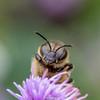 HoneyBee-0007.jpg (vorneo) Tags: classinsecta honeybee kingdomanimalia europeanhoneybee bee familyapidae wild westernhoneybee genusapis phylumarthropoda speciesamellifera binomialnameapismellifera orderhymenoptera