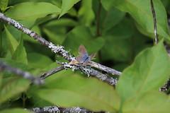 IMG_7099 - Couper's Silery Blue (Glaucopsyche lygdamus couperi) (f.), Kiosk trail, Algonquin Park, Nippissing, Ontario, Canada (Wayne W G) Tags: provincialpark algonquin kiosk canada ontario nippissing butterfly silver silvery blue brown beige taxonomy:kingdom=animalia animalia taxonomy:phylum=arthropoda arthropoda taxonomy:subphylum=hexapoda hexapoda taxonomy:class=insecta insecta taxonomy:subclass=pterygota pterygota taxonomy:order=lepidoptera lepidoptera taxonomy:superfamily=papilionoidea papilionoidea taxonomy:family=lycaenidae lycaenidae taxonomy:subfamily=polyommatinae polyommatinae taxonomy:tribe=polyommatini polyommatini taxonomy:subtribe=scolitantidina scolitantidina taxonomy:genus=glaucopsyche glaucopsyche taxonomy:species=lygdamus taxonomy:binomial=glaucopsychelygdamus taxonomy:trinomial=glaucopsychelygdamuscouperi glaucopsychelygdamuscouperi coupersblue bleuargenté taxonomy:common=coupersblue taxonomy:common=bleuargenté inaturalist:observation=6936378