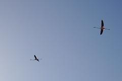 Flamingos (Sergio.Poppi) Tags: sagentiarrubia fenticotteri cagliari molentargius sardinia sardegna stagno