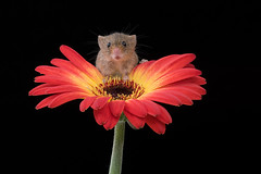 Good grief, it's a human! (hehaden) Tags: rodent mouse harvestmouse micromysminutus glower gerbera captivelight bournemouth