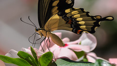 (Kelley&Kelley) Tags: florida butterfly wings flower garden insect closeup macro nature wildlife nikon nikond90 specanimal