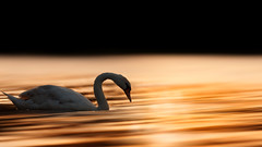 'Summer Sun' (Jonathan Casey) Tags: swan sunset mute nikon d810 400mm f28 vr