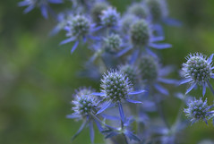 Soft Fireworks (KsCattails) Tags: bigblue eryngium flower garden kansas kscattails overlandparkarboretum seaholly fireworks nature